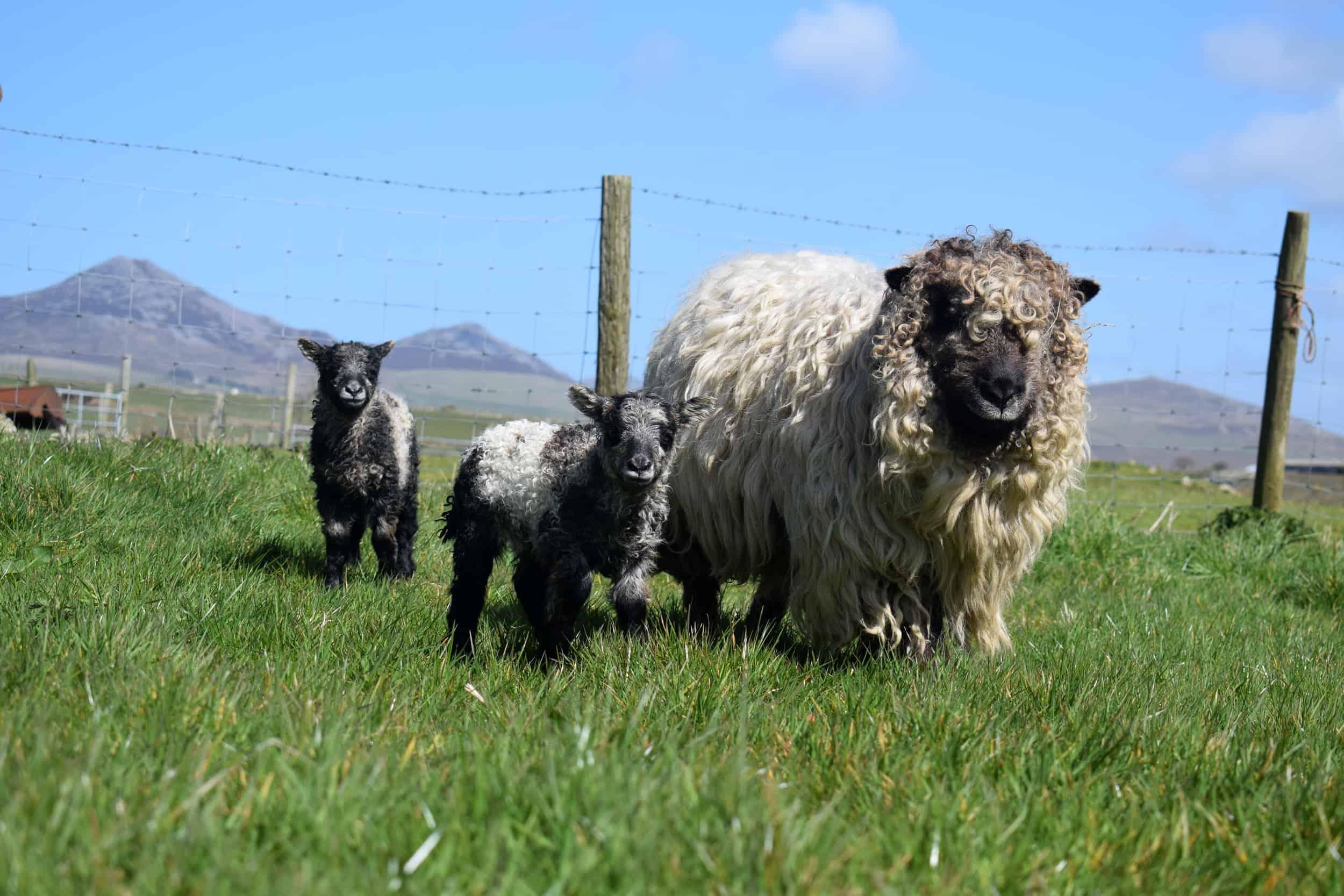 gfd ewe and lambs