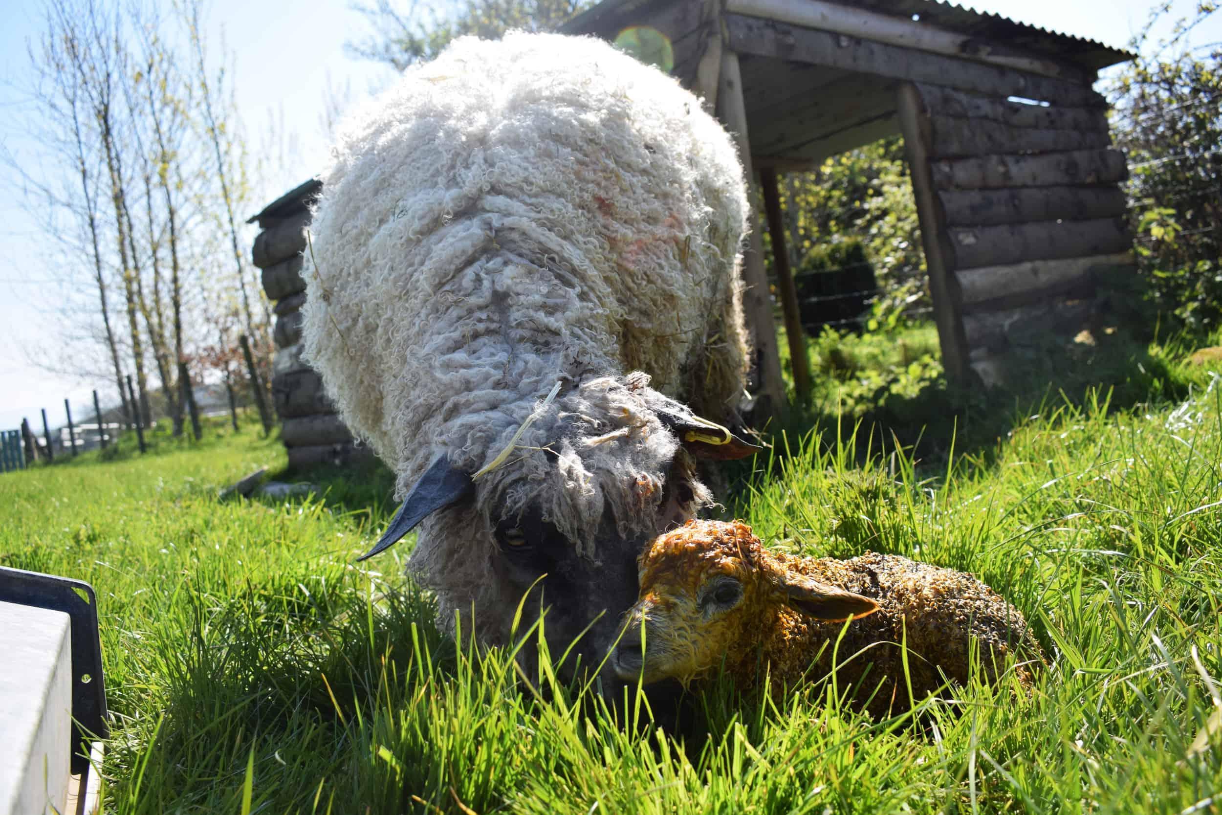 dobby wensleydale sheep newborn lamb