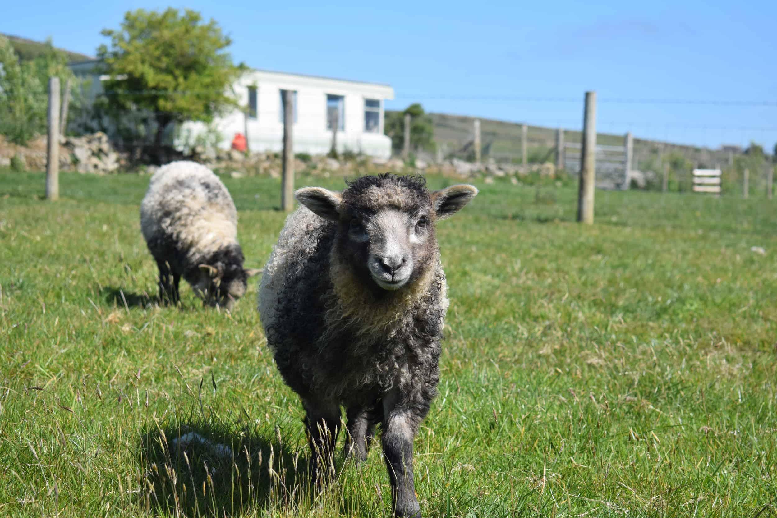 gfd cross icelandic lamb