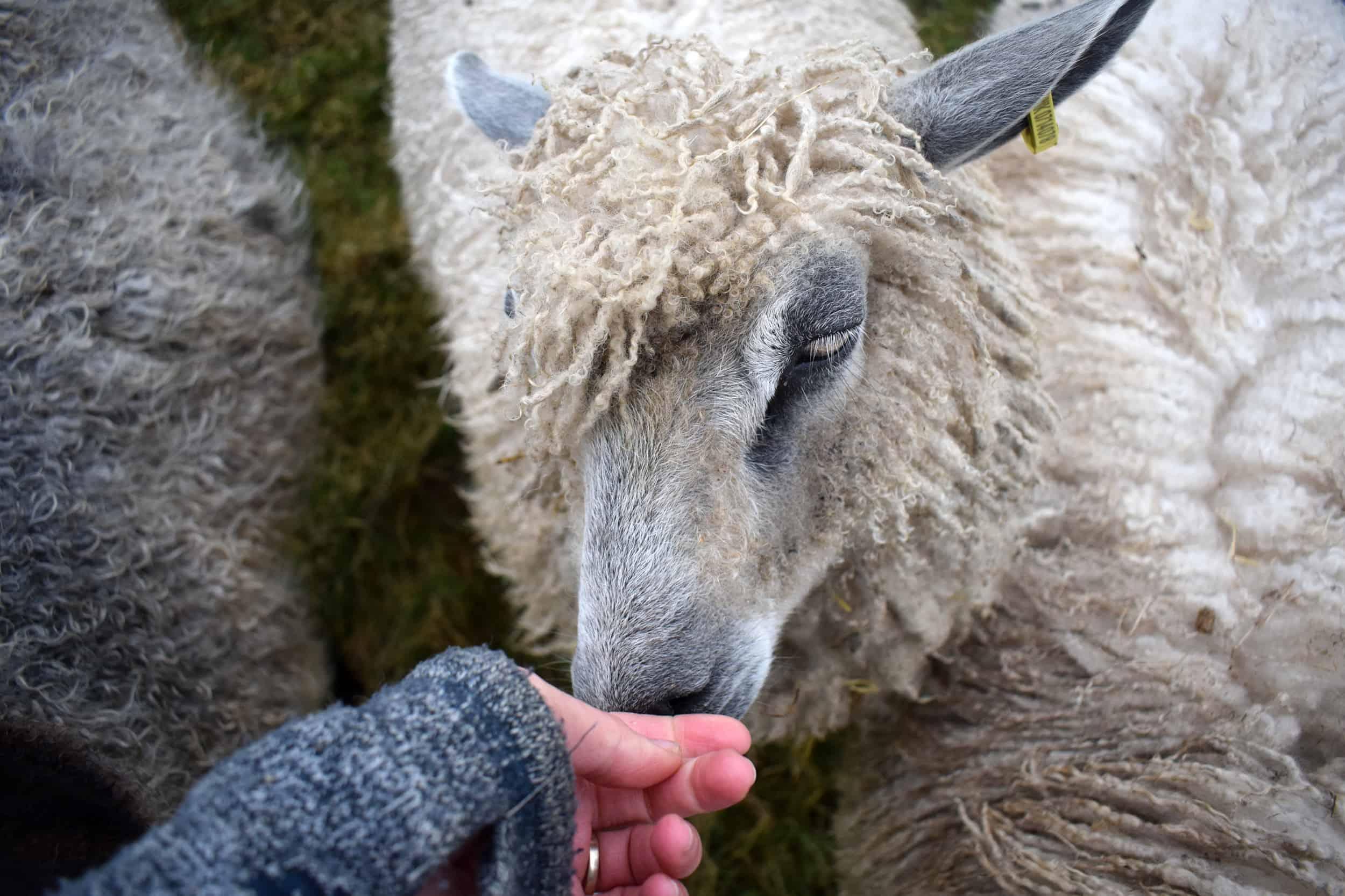 hermione texel x wensleydale patchwork sheep 1 2