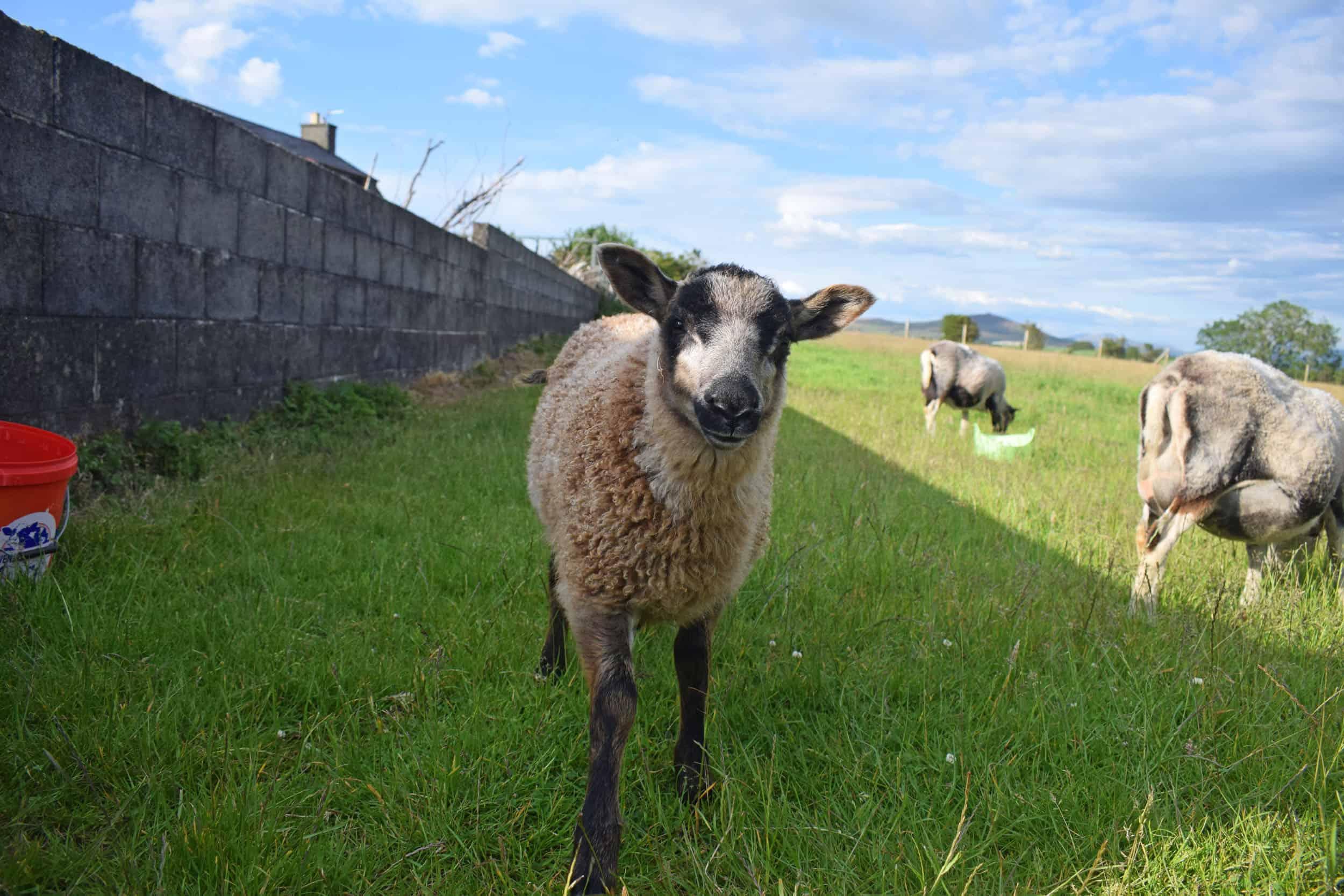 maple lamb