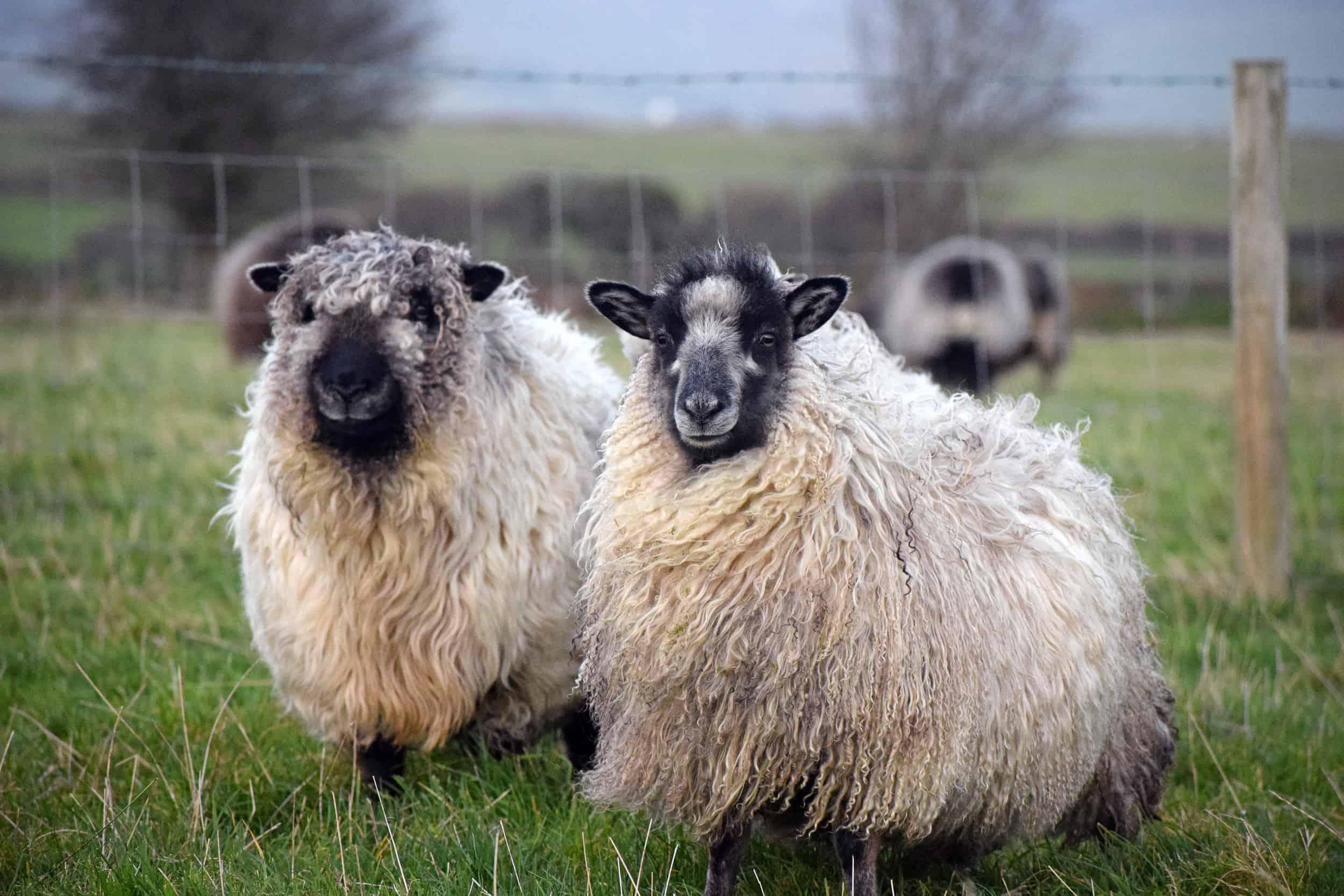 coloured greyface dartmoor cross