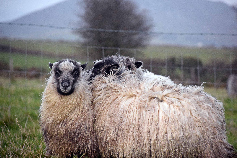 greyface dartmoor icelandic