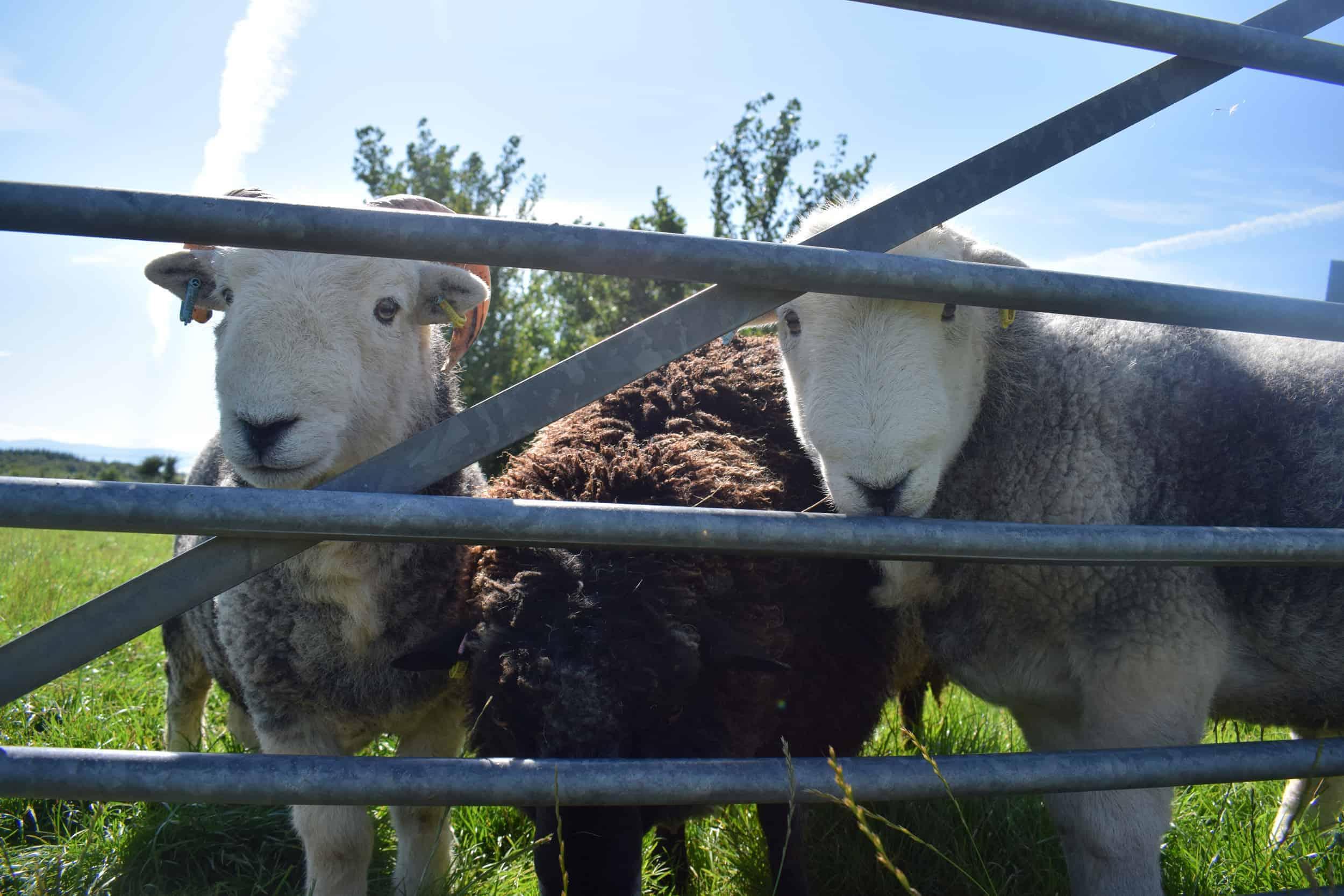 Herdwick sheep