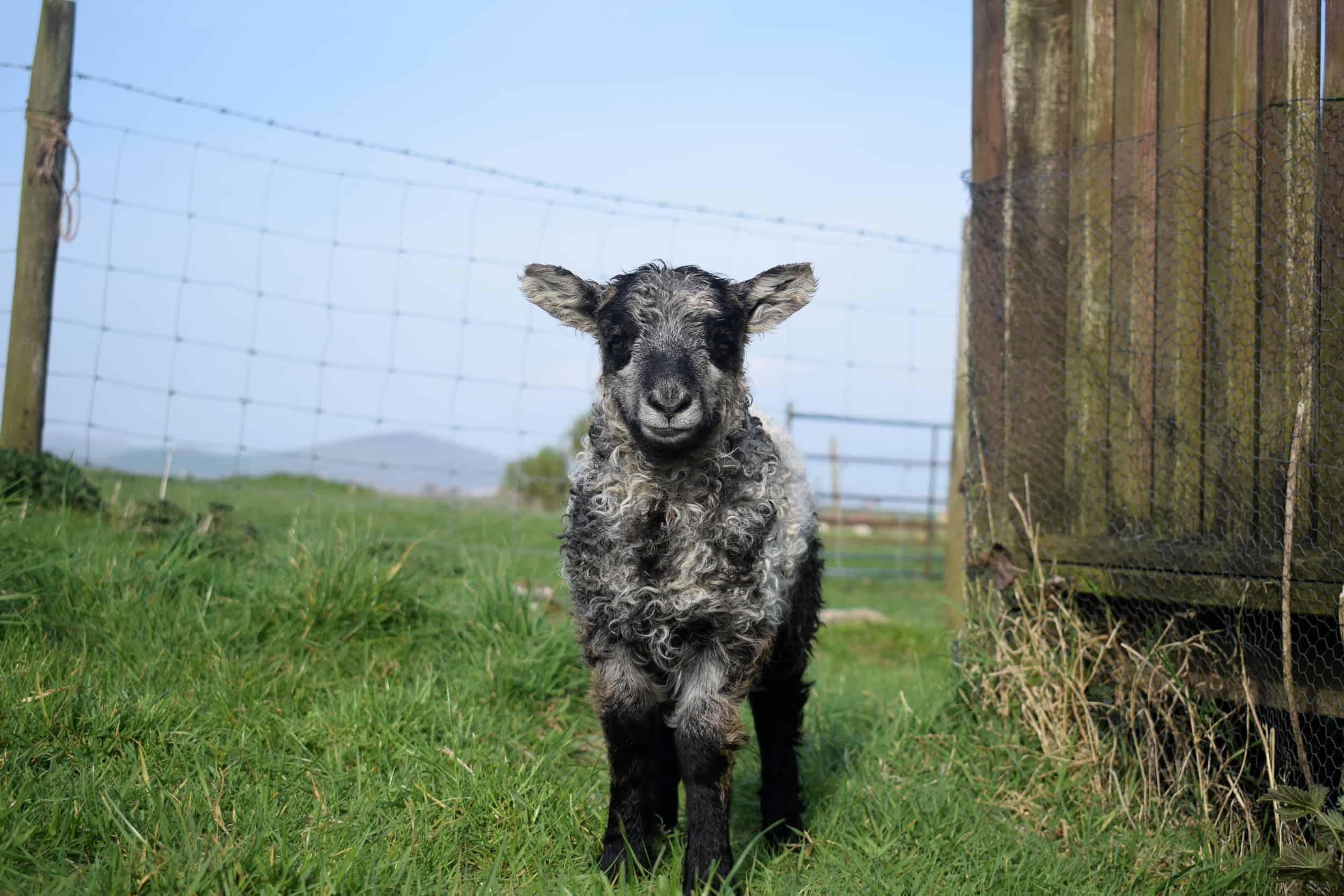 cute lamb pebbles