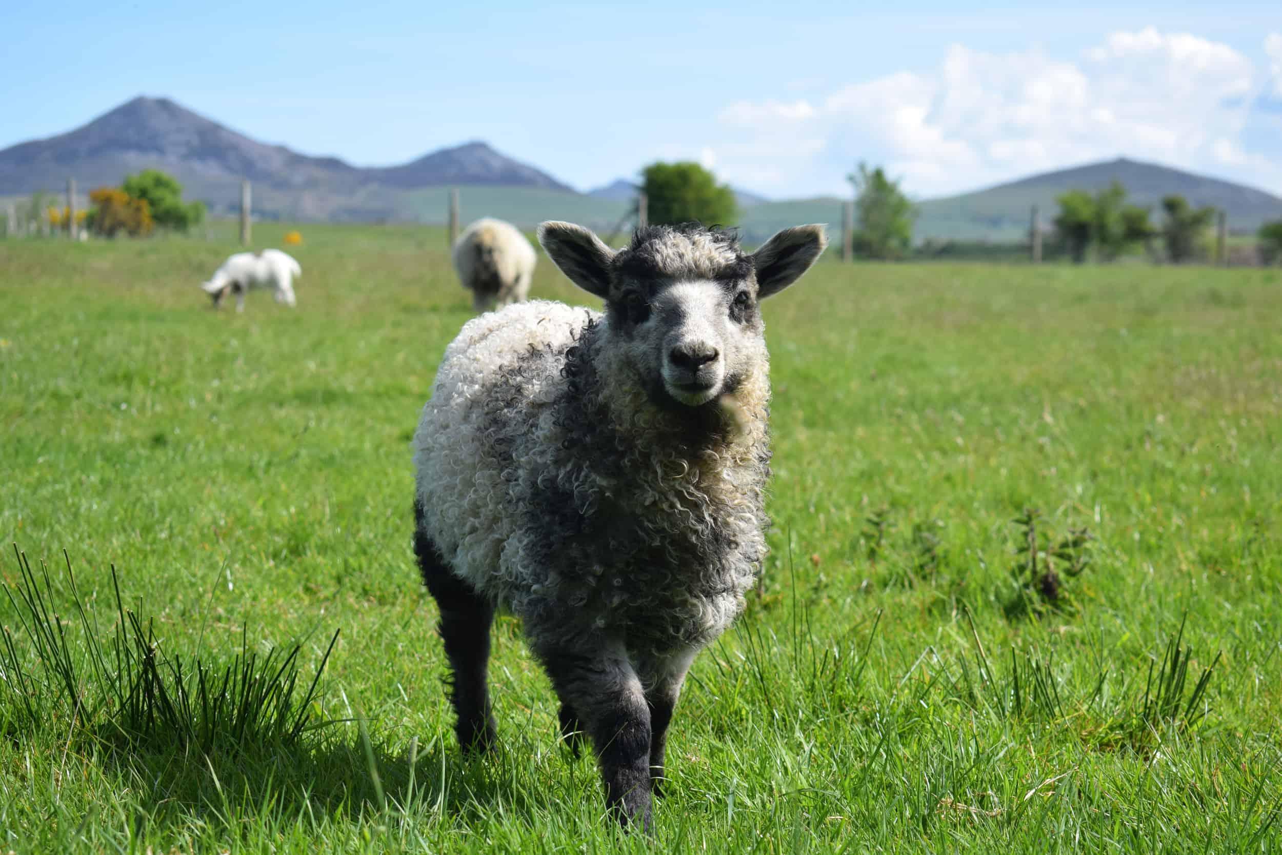 gfd lamb