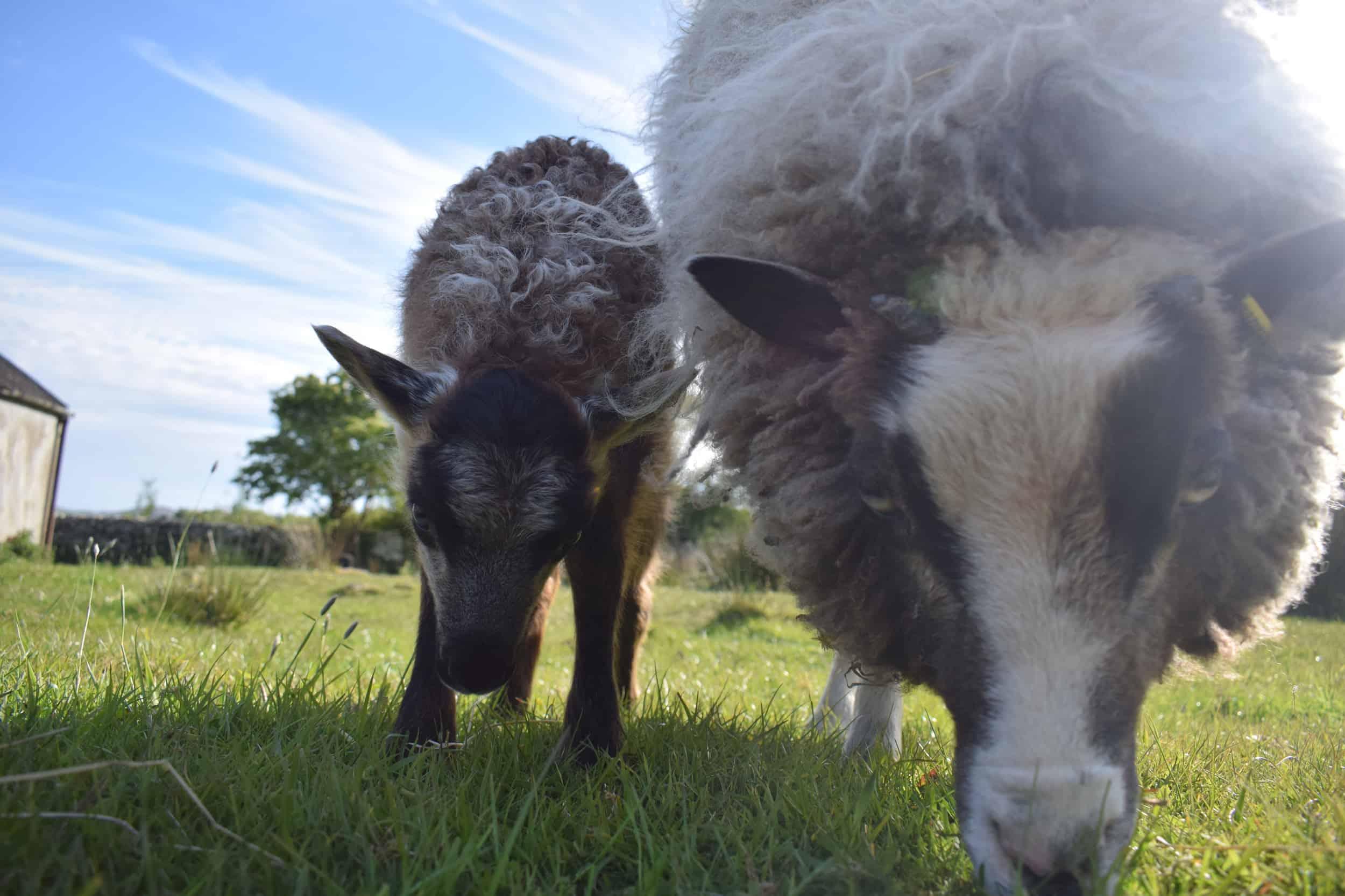 lamb maple