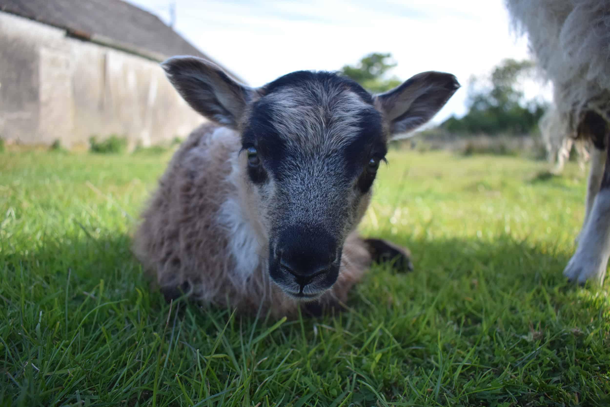 cute icelandic lamb