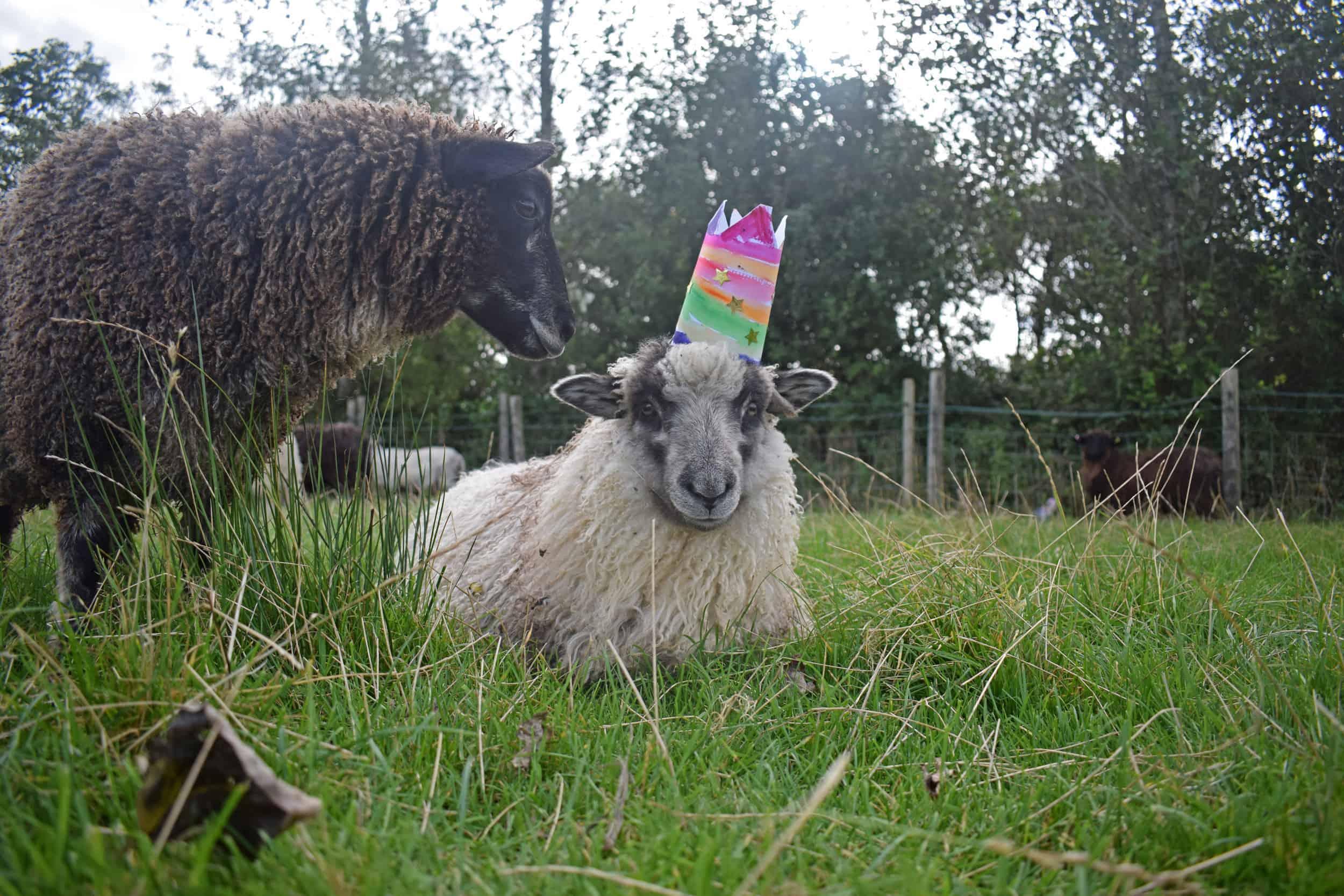 sheep hats