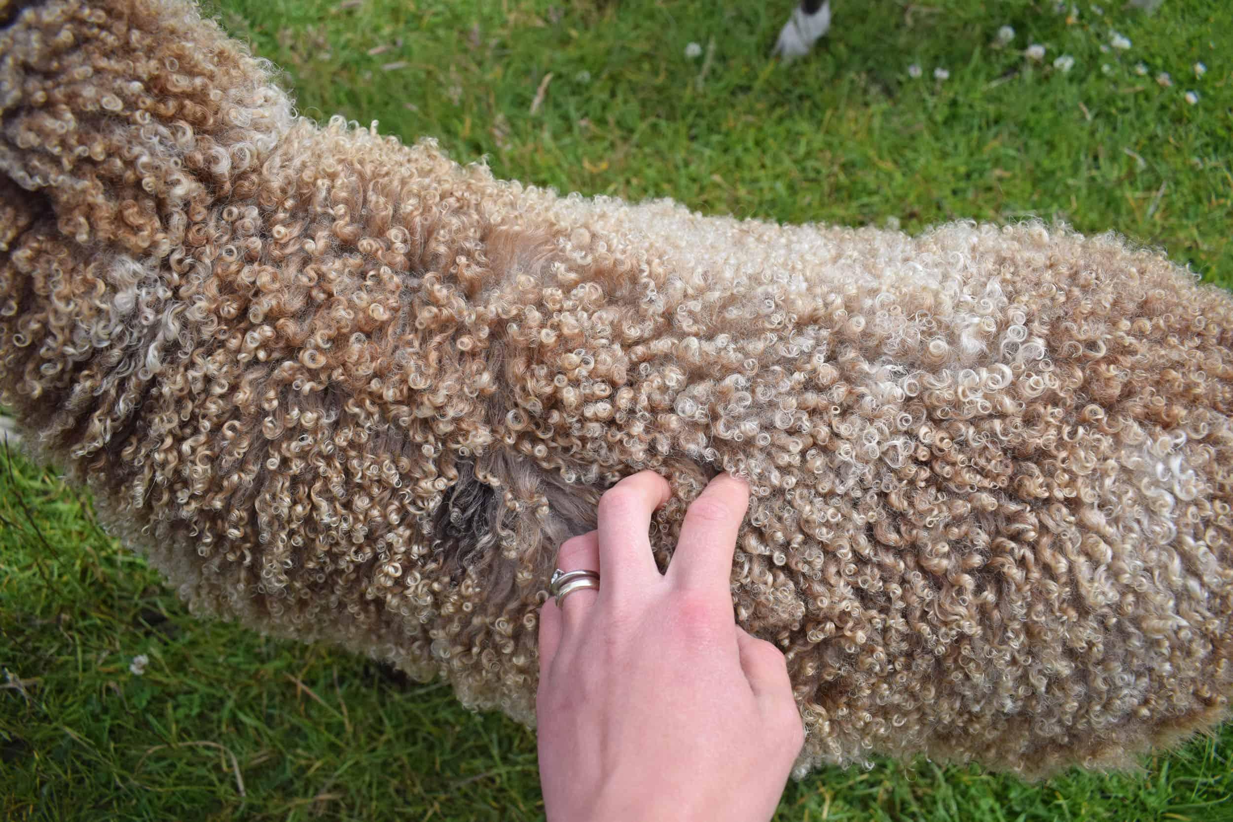 lamb curls