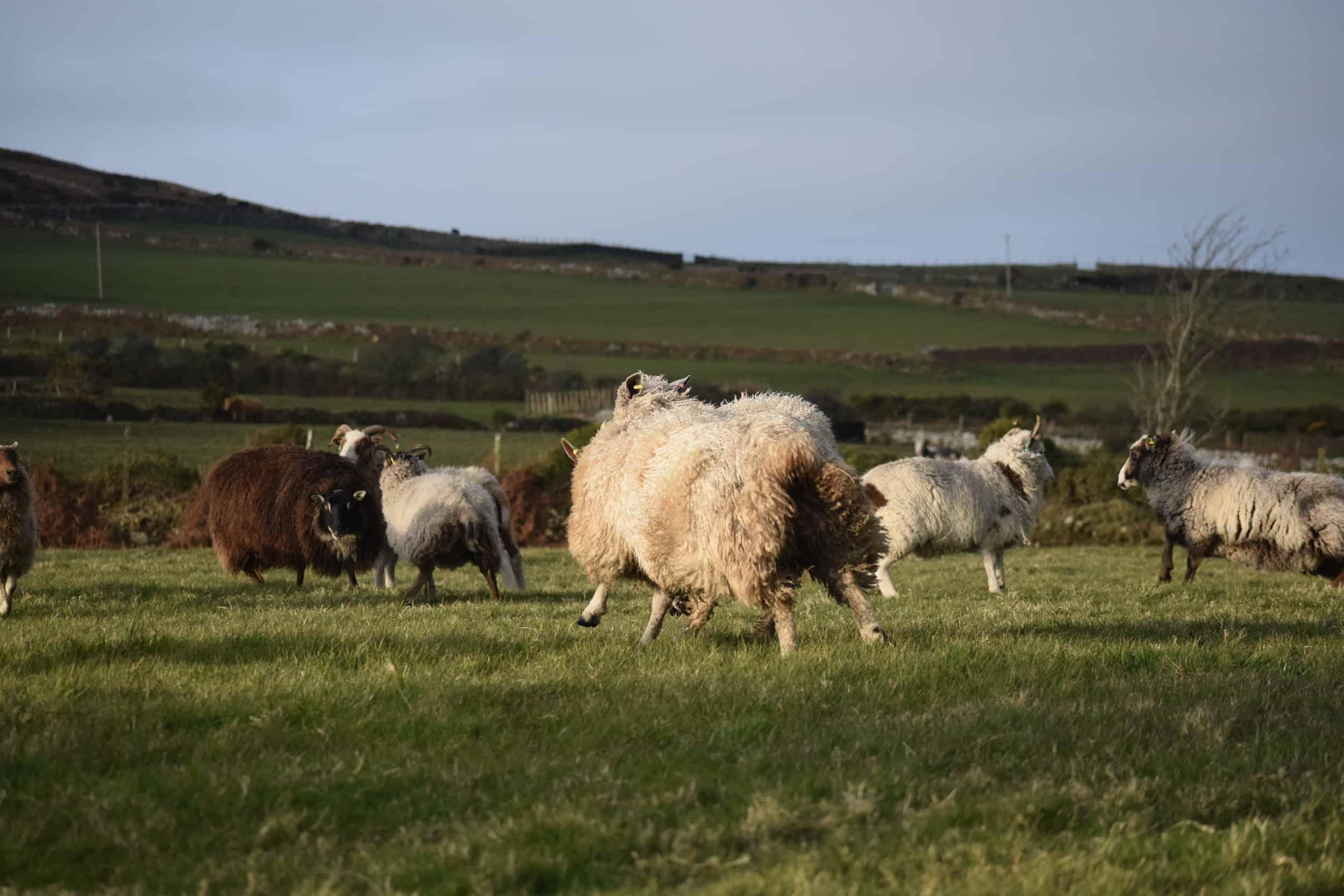 hermione texel x wensleydale patchwork sheep wool 2