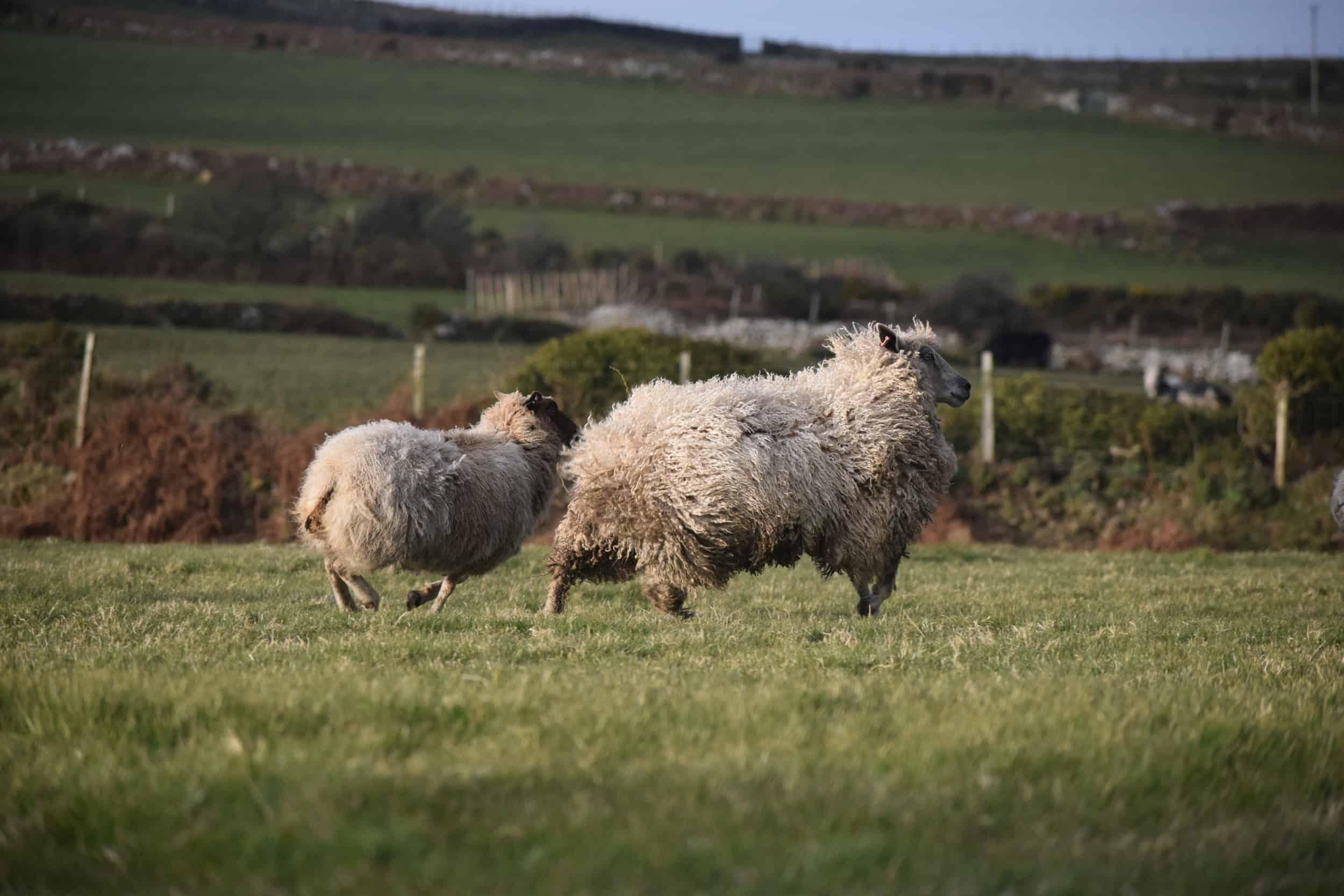 hermione texel x wensleydale patchwork sheep wool 3