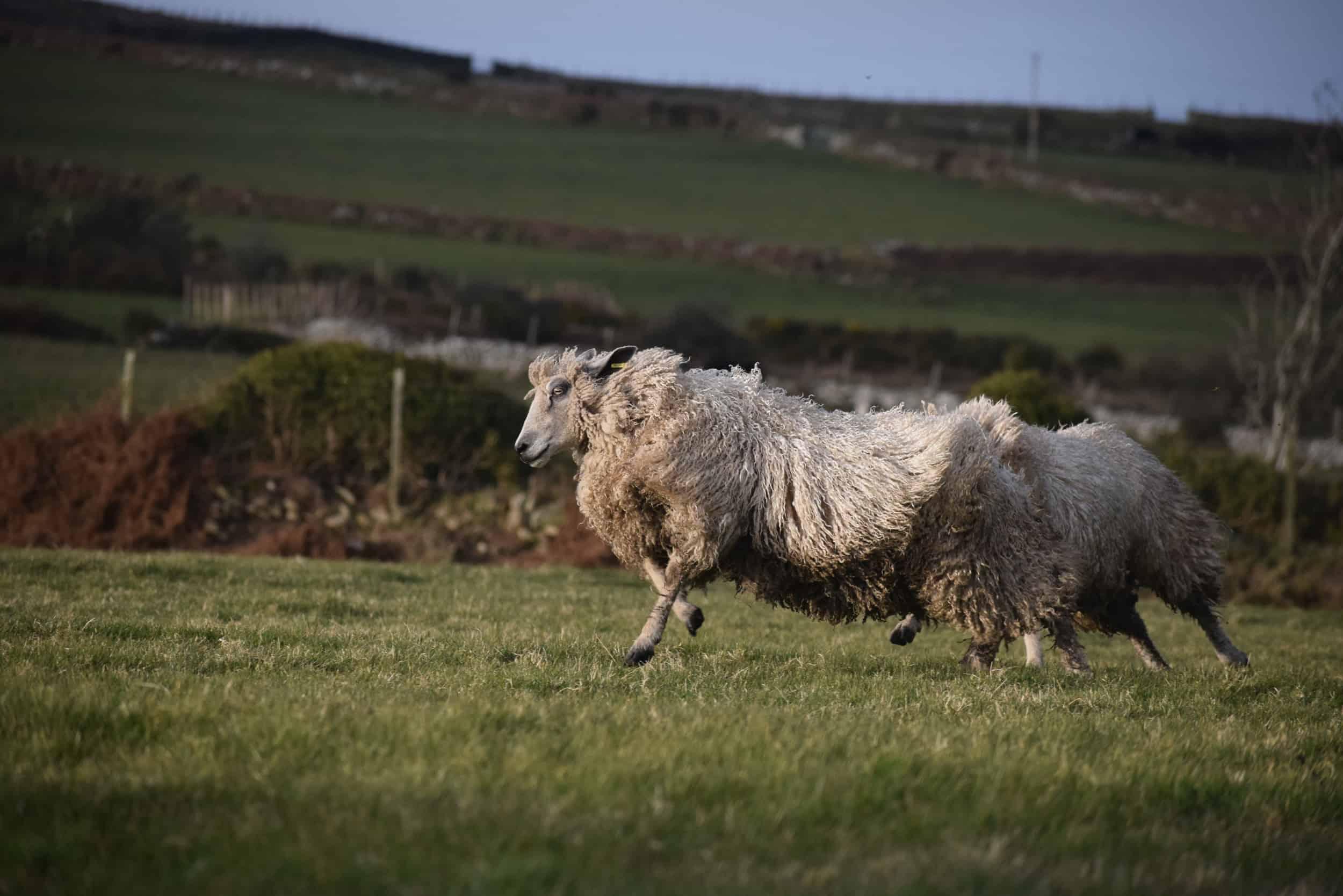 hermione texel x wensleydale patchwork sheep wool 4