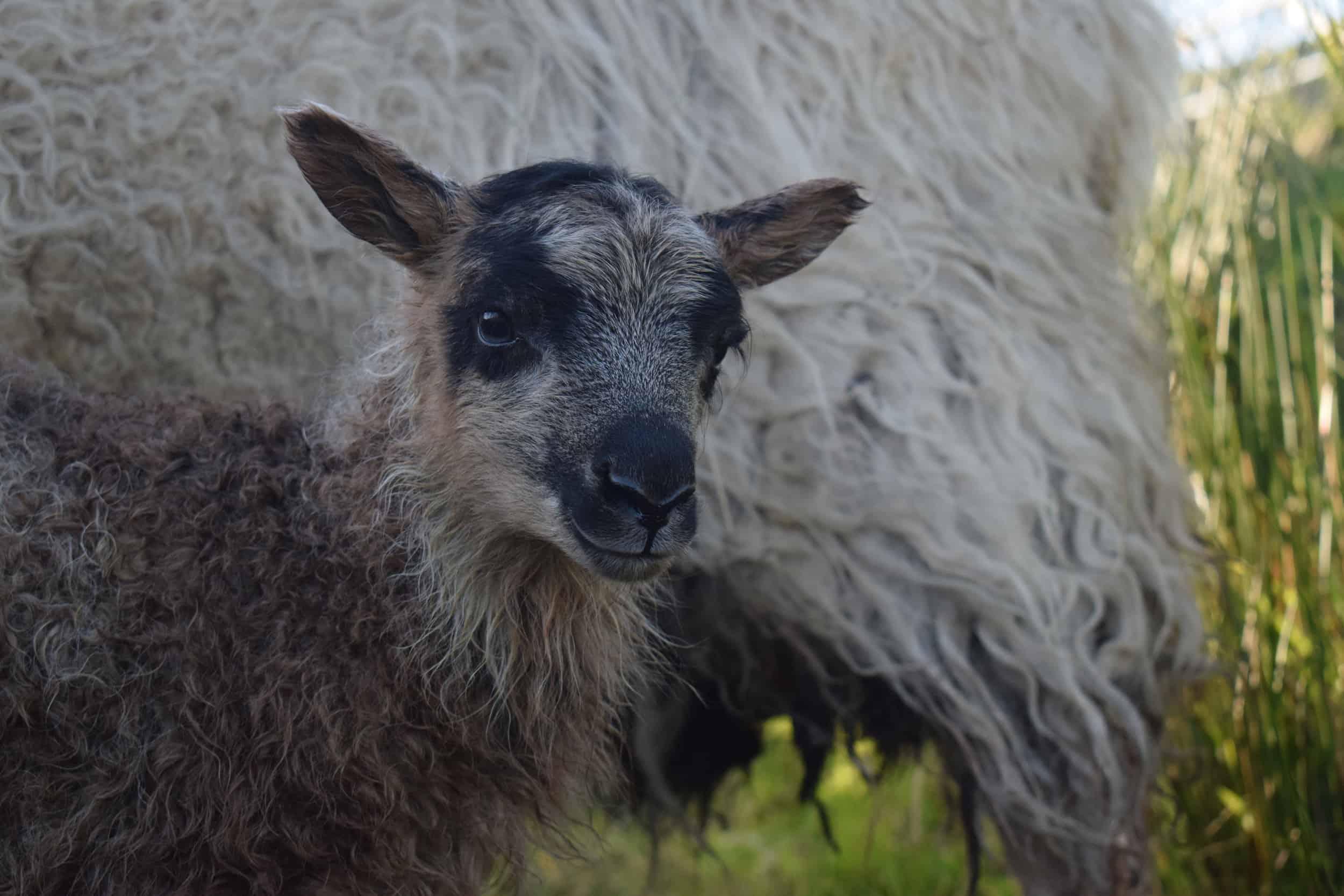 maple cute lamb