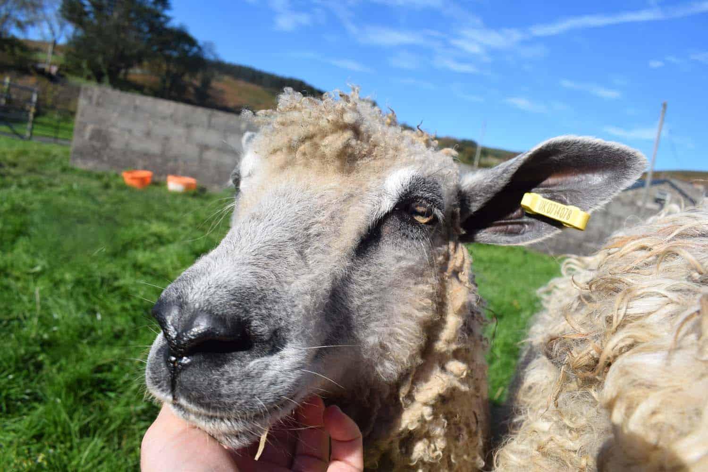 hermione texel x wensleydale patchwork sheep 8