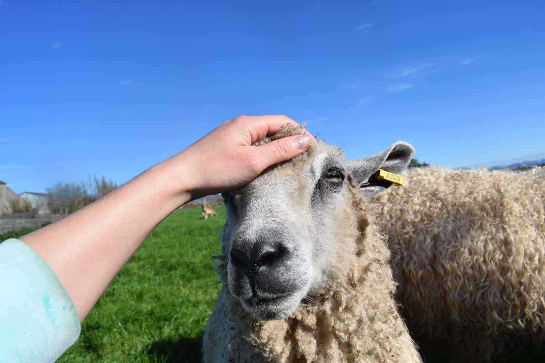 hermione texel x wensleydale patchwork sheep 7