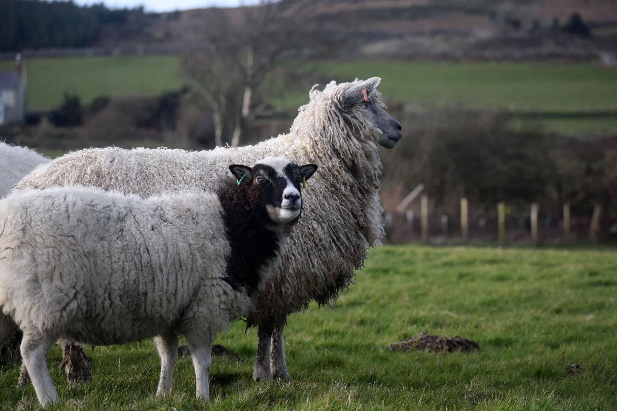 hermione texel x wensleydale patchwork sheep 5