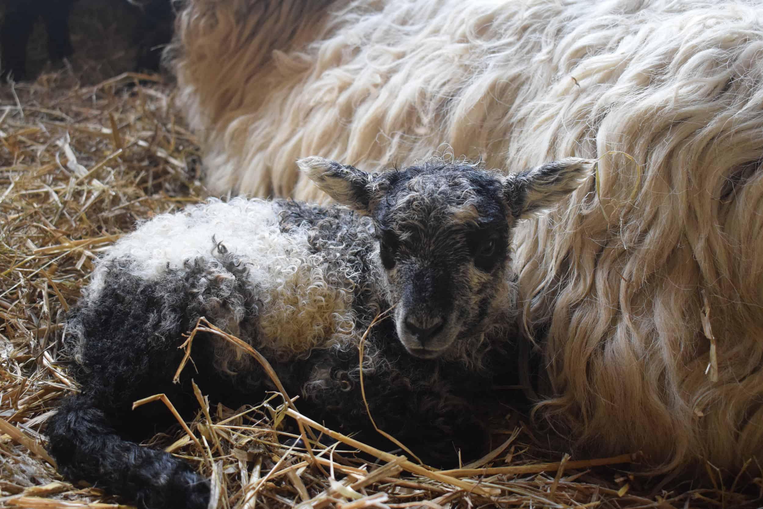 greyface dartmoor cross lamb