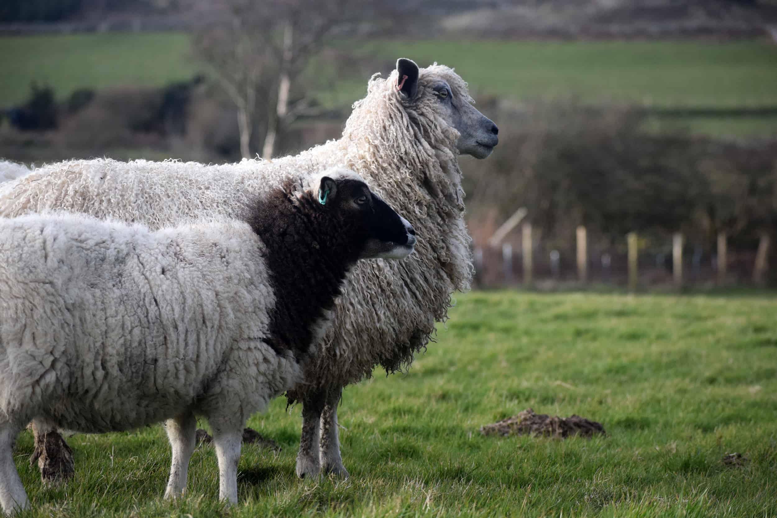 hermione texel x wensleydale patchwork sheep 4