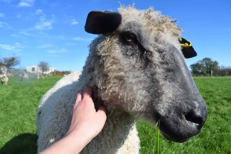 dobby wensleydale sheep 9