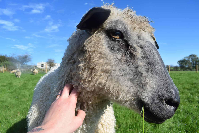 dobby wensleydale sheep 8