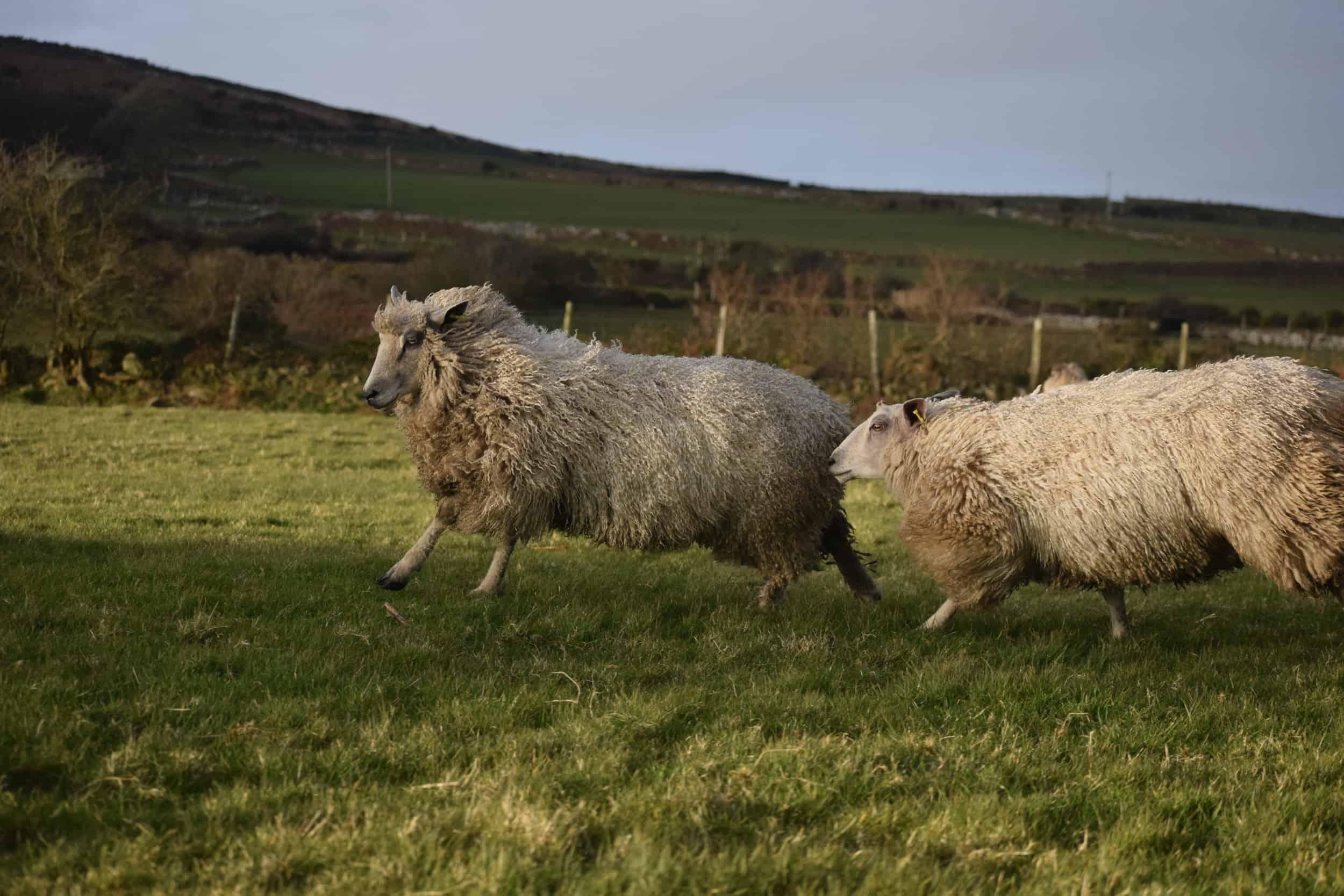 luna texel x wensleydale patchwork sheep wool 6
