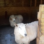 sheep need a home