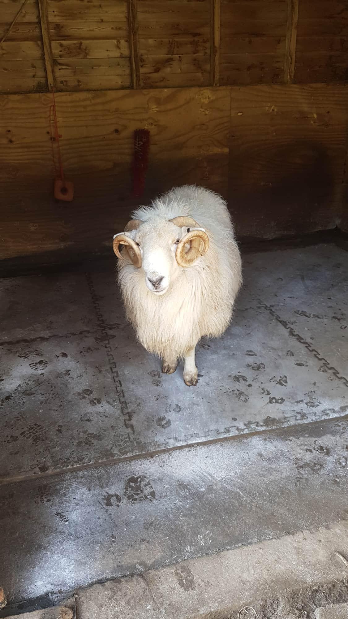 sheep need a home