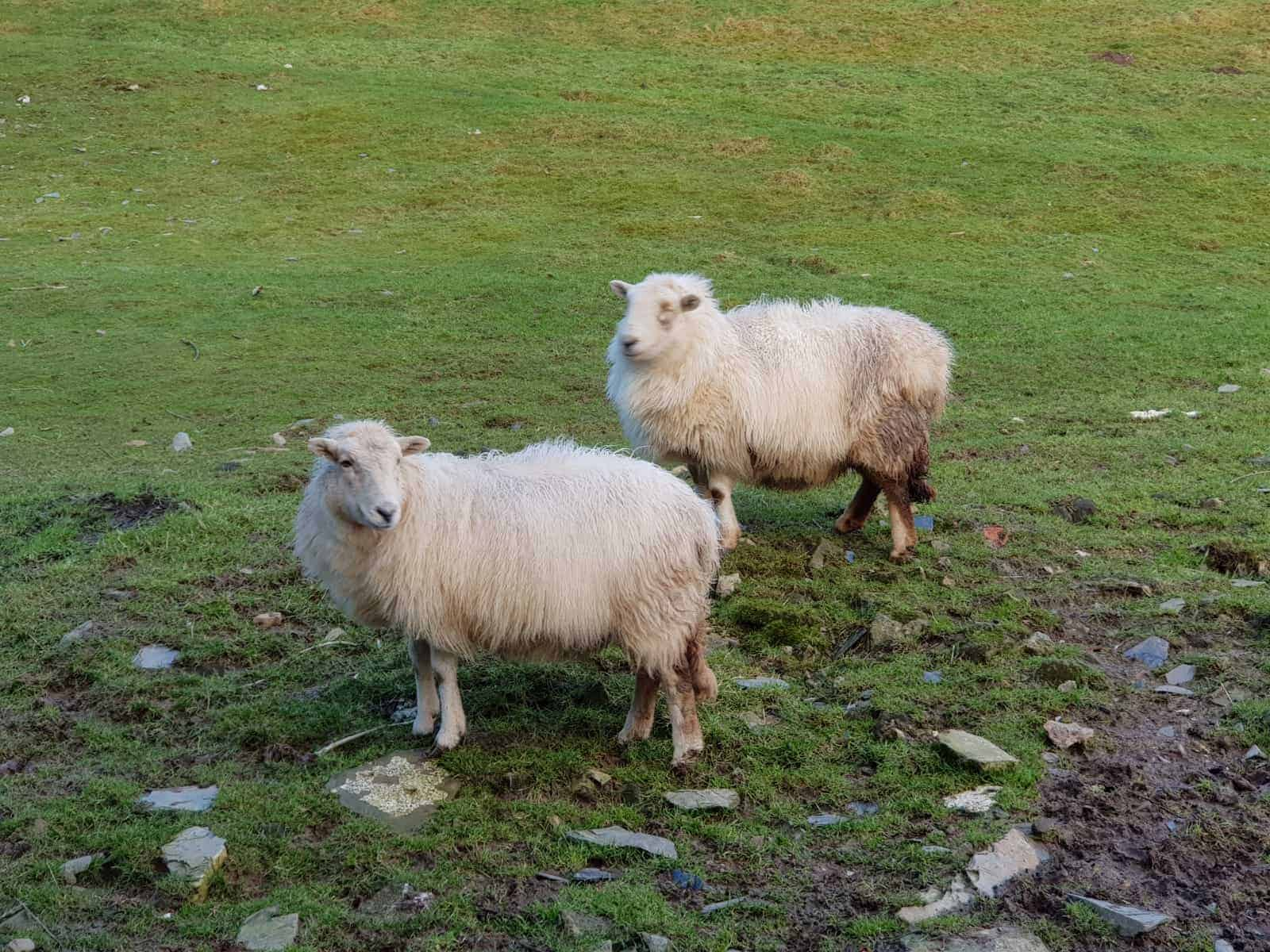 rescue sheep rehoming help